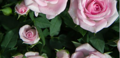 Róże wogrodzie – poznaj roślinę owielu obliczach