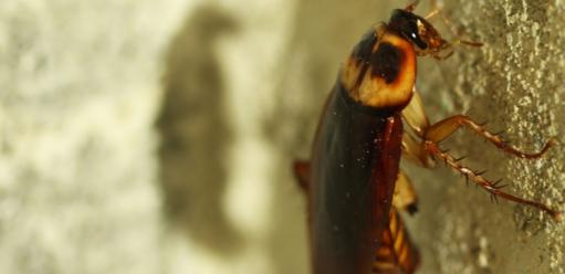 Karaluchy wdomu – skąd się biorą, jak się ich pozbyć?
