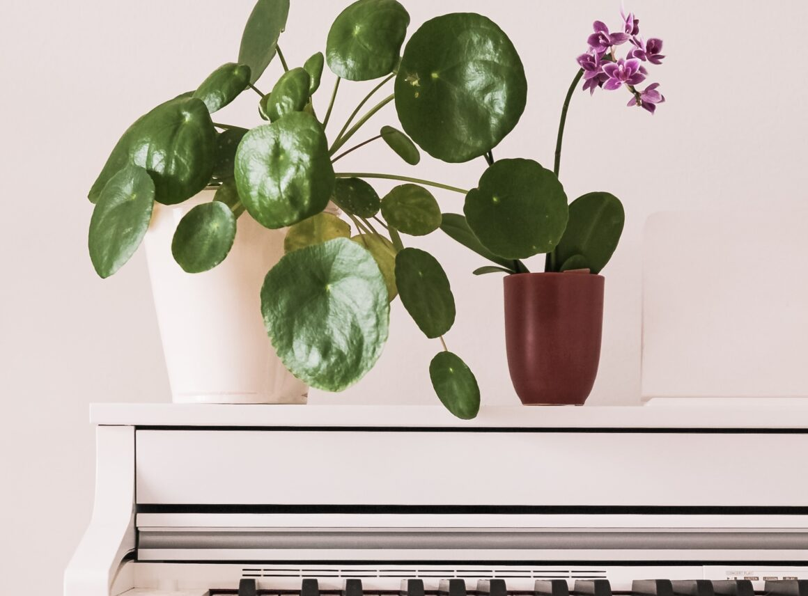 Pilea pieniążek – ciekawa roślina doniczkowa