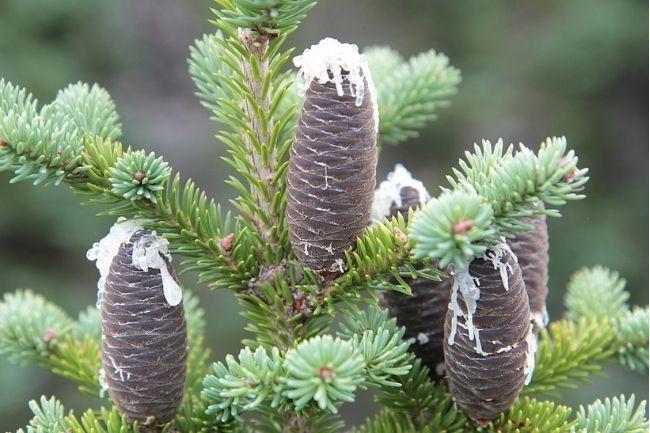 Gatunki jodeł ogrodowych - jodła balsamiczna Abies balsamea